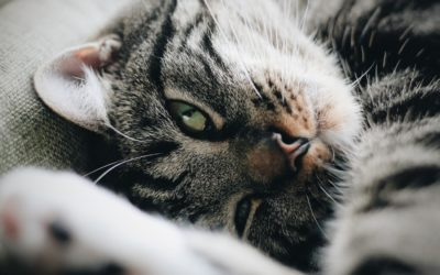 The Best Treatment Approach for Cats with Chronic Kidney Disease